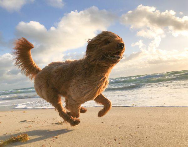 Otkrijte što vam pas želi poručiti svojim mahanjem repa