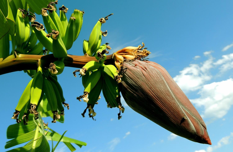 cvijet banane
