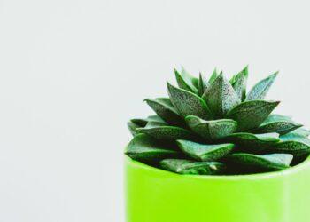 sukulenti, biljka