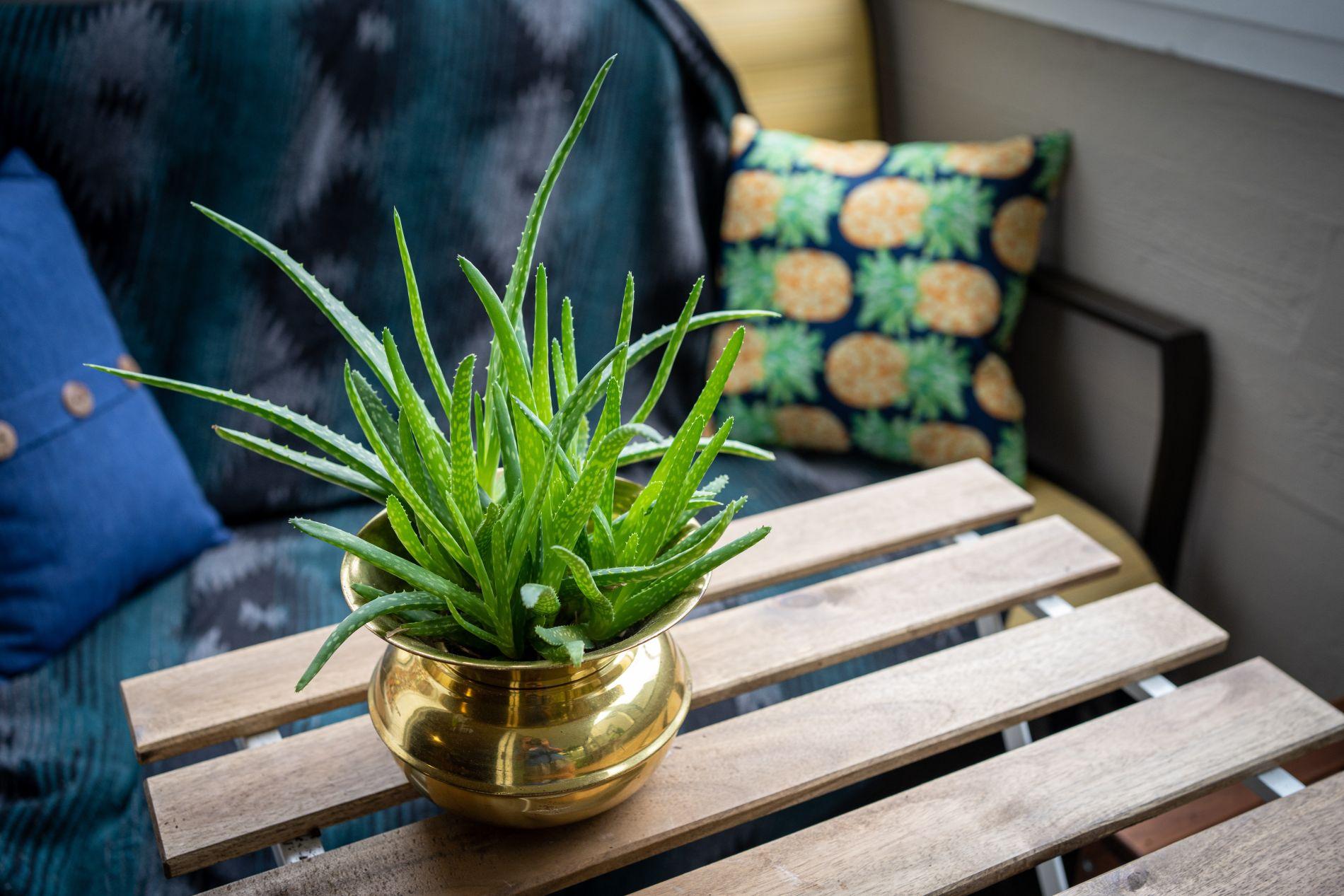 aloe vera, biljka, ljekovita biljka