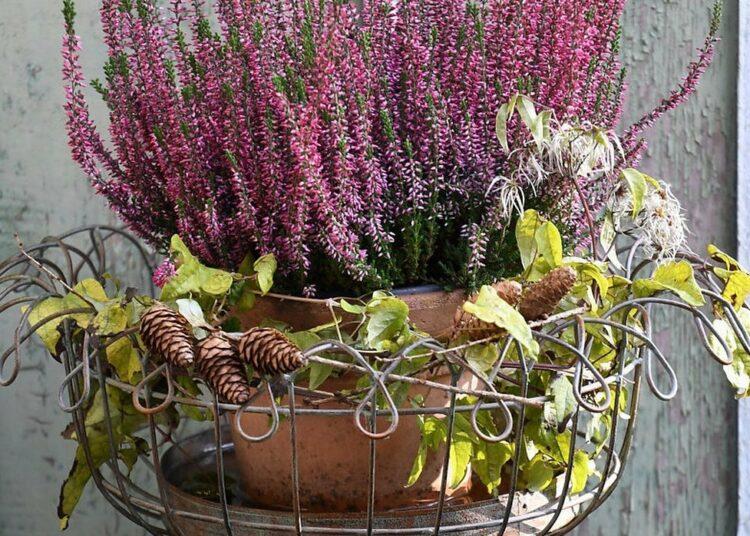 zimsko cvijeće za balkon