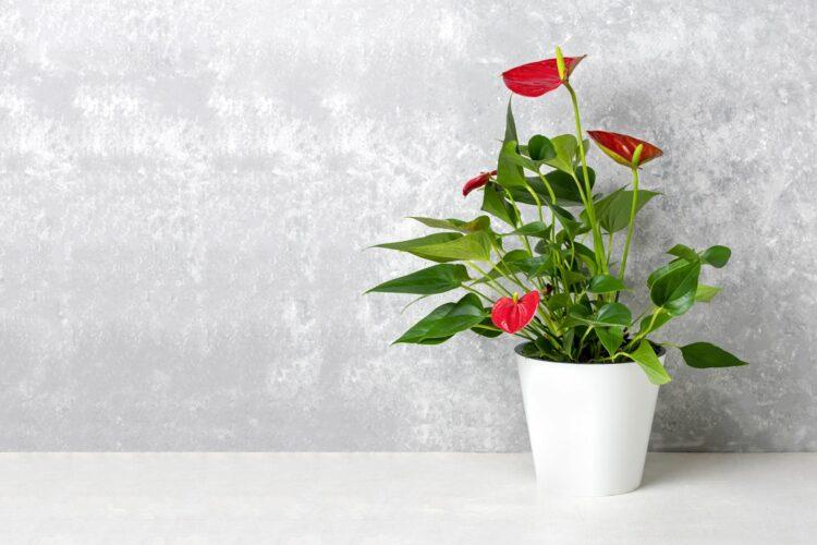 anthurium ili flamingov cvijet
